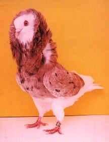 صورطيور الحمام صورطيور صورطيور الزينه